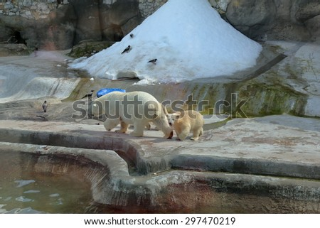 White Arctic bears in Moscow zoo aviary - stock photo