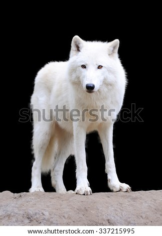 White arctic wolf on dark background - stock photo