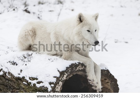 white arctic wolf resting on a trunk in snowy white winter forest - stock photo