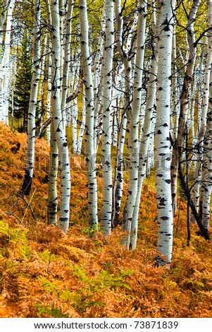 White Aspens growing out of a blanket of ferns - stock photo