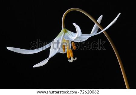 White Avalanche Lily (Erythronium Montanum) Liliaceae - Studio Image - stock photo