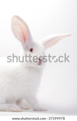 white baby bunny - stock photo