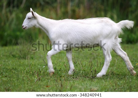 White baby goat grazing on a green meadow