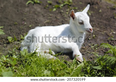 white Baby goat in pasture
