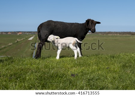 White baby lambs in field with black mom - stock photo