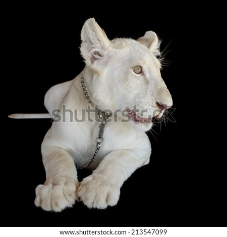 White baby lion with isolated black background and clip part. - stock photo