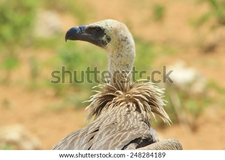 White Backed Vulture - African Wild Bird Background - Scavengers and their Plumage - stock photo