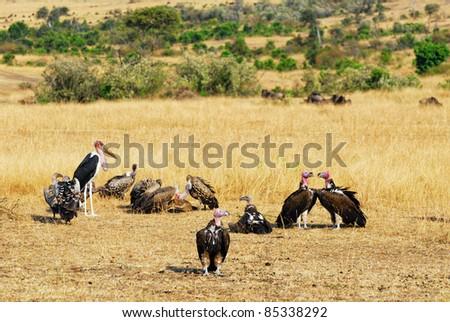 White-backed Vulture and Marabu stork in the savannah,  Masai Mara, Kenya - stock photo