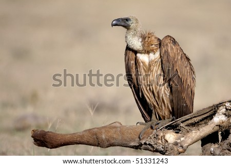 White-backed Vulture, lake nakuru, kenya - stock photo