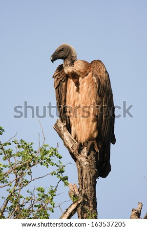 White-backed Vulture, perching, South Africa