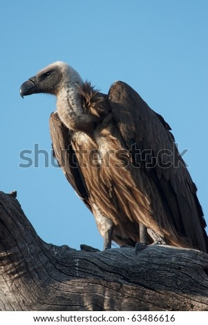 White-Backed Vulture resting on a branch in the early morning, Botswana.
