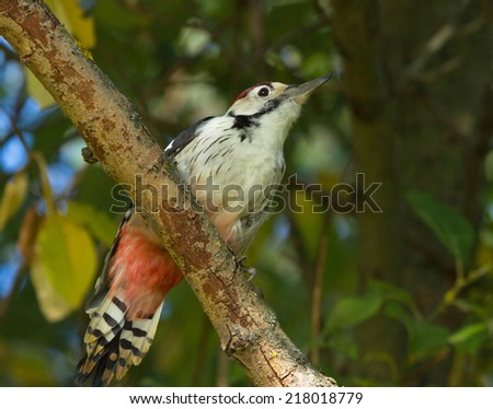 White-backed woodpecker on branch - stock photo