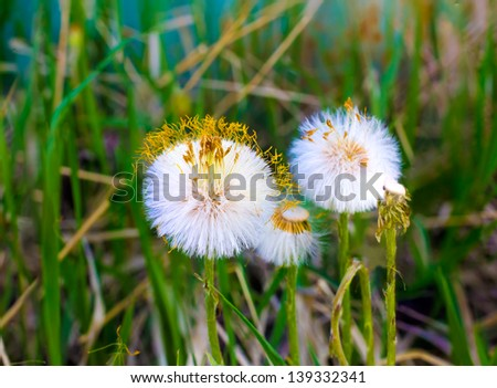 White balls dandelions in green grass