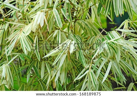 White bamboo leaves on tree - stock photo