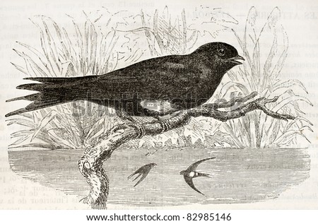 White Banded Swallow old illustration (Atticora fasciata). Created by Kretschmer and Wendt, published on Merveilles de la Nature, Bailliere et fils, Paris, 1878 - stock photo