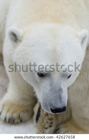 White bear - stock photo