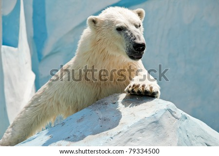 white bear climbing on stone - stock photo