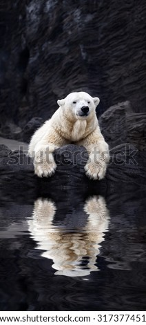 White bear on the rocks, Lying polar bear situated on a rock, reflected in water - stock photo