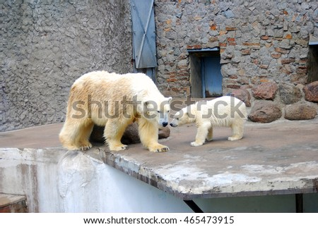 White bears - mother and baby