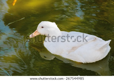 White beautiful duck floating on the green water - stock photo
