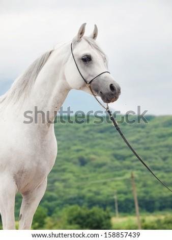 white beautiful  purebred arabian stallion  - stock photo