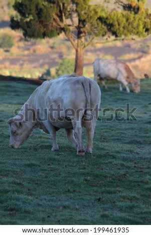 white beef cattle breed before slaughter toowoomba queensland - stock photo