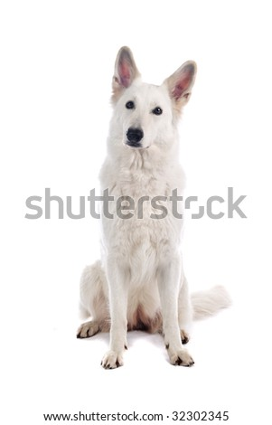 white belgium shepherd isolated on a white background