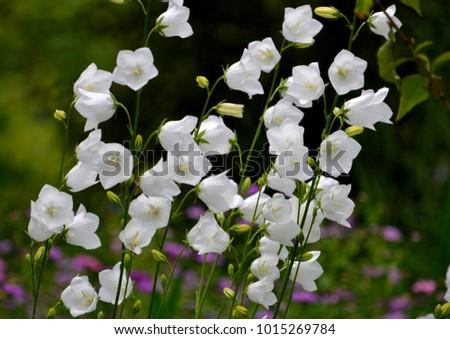White bell flowers campanula persicifolia background stock photo white bell flowers campanula persicifolia as background colorful campanula bell flowers in flowerbed mightylinksfo