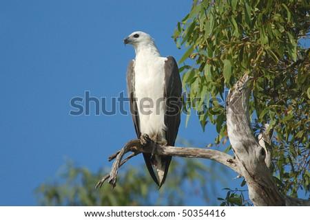 White-bellied Fish Eagle in Kakadu National Park, Australia - stock photo