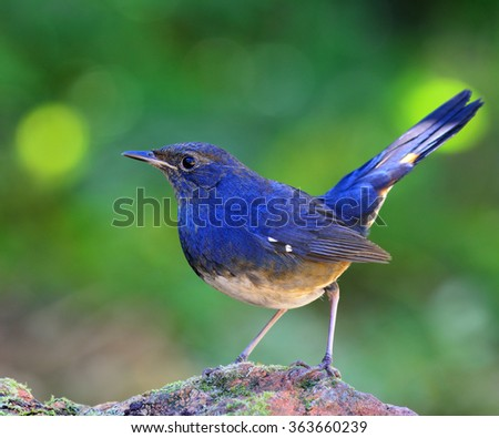 white-bellied redstart (Hodgsonius phaenicuroides) the beautiful blue bird standing on the mossy rock showing its high lifted tail with nice blue feathers on blur green background and bokeh - stock photo