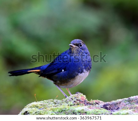 white-bellied redstart (Hodgsonius phaenicuroides) the beautiful blue bird standing on the mossy rock showing its white belly with nice blue feathers on blur green background - stock photo