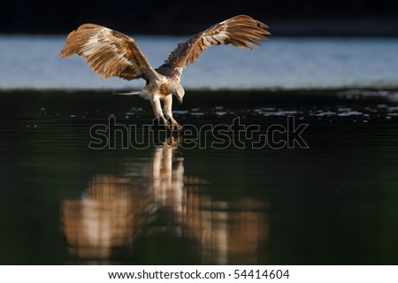 White-bellied Sea Eagle - stock photo
