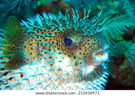 White belly blowfish - stock photo