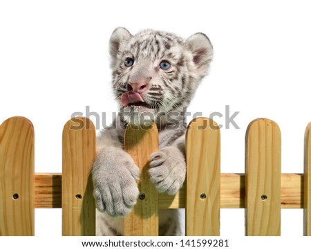 white bengal tiger and wooden fence isolated on white background - stock photo