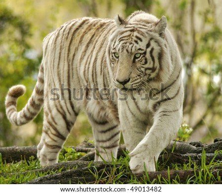 White Bengal Tiger Approaching - stock photo