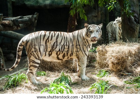 White Bengal Tiger at the Zoo - stock photo