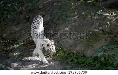 White Bengal Tiger, China  - stock photo
