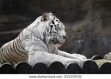White bengal tiger dozed on a hot day, sticking his tongue  - stock photo