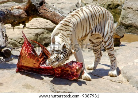 Tiger Eat Meat Tiger Feeding Meat