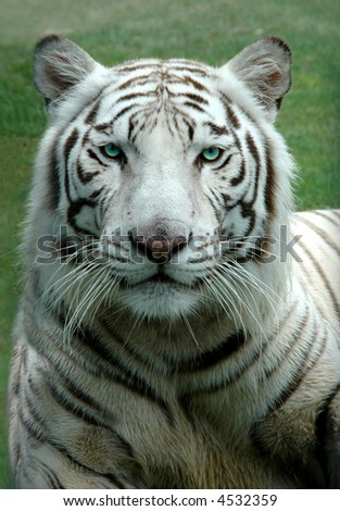 White Bengal Tiger in a close up view portrait looking into the camera - stock photo