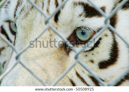 White bengal tiger in cage with blue eyes - stock photo