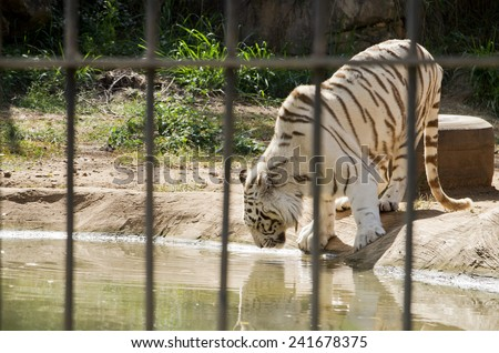 White Bengal Tiger in the Zoo - stock photo