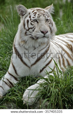 White Bengal Tiger / Indian Tiger lying in grass, portrait - stock photo