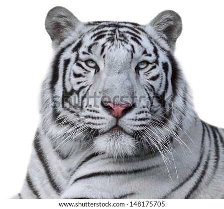White bengal tiger, isolated on white background. Beautiful big cat with blue eyes and pink nose. Dangerous and severe beast.