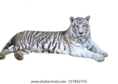 White Bengal Tiger on white background. - stock photo