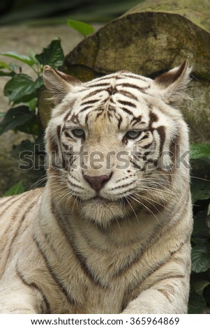 White Bengal Tiger, (Panthera tigris)  - stock photo