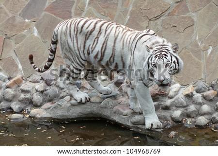 White Bengal tiger (Panthera tigris tigris) - stock photo
