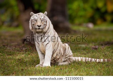 White Bengal tiger sitting in field