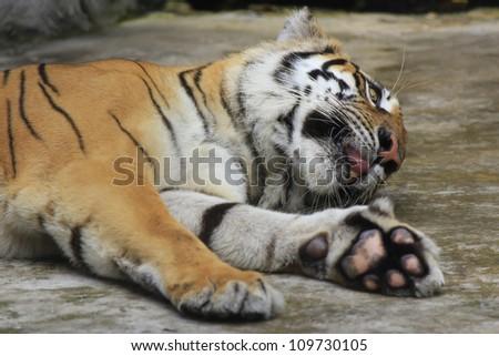 White Bengal Tiger sleep - stock photo