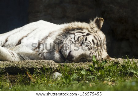 White Bengal Tiger sleeping